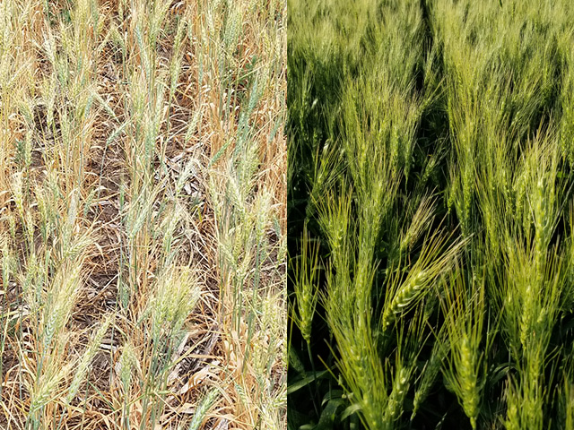 What a difference a year makes. The field on the left succumbed to severe drought in 2017, while the same field on the right in 2018 has seen better growing conditions this summer. (Photos by Mark Rohrich of Maverick Ag in Ashley, North Dakota)
