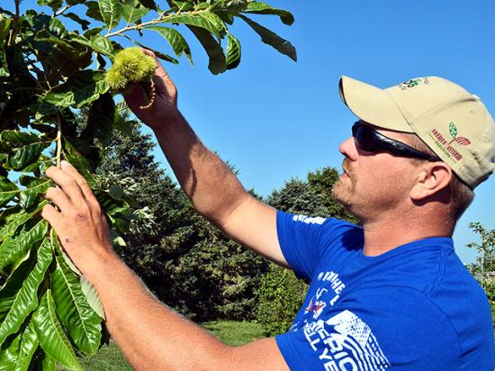 Heath Stolee tends his chestnut trees in Radcliffe, Iowa. (Progressive Farmer photo by Dan Miller)