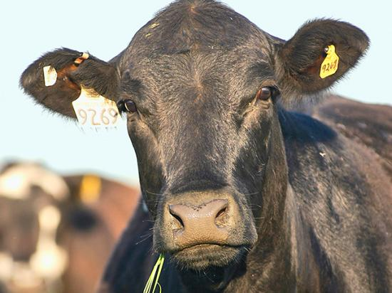 The USDA reportedly will expand its cattle market investigation to include recent price disparities during the COVID-19 outbreak. (DTN/Progressive Farmer file photo by Gregg Hillyer)