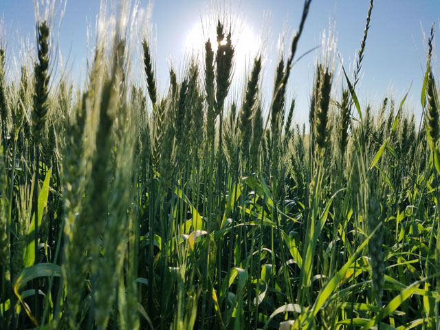 A spring wheat field basking in the sun in Crookston, Minnesota. The Wheat Quality Council hard red spring and durum wheat tour will get underway this week, beginning on July 23. (Photo by Tim Dufault)