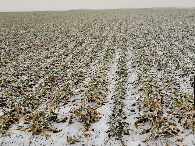 Curt Knutson, sugarbeet grower in Fisher, Minnesota, said the last of his sugarbeets became cattle feed as harvest ended due to frozen beets unable to be processed. (Photo by Curt Knutson)