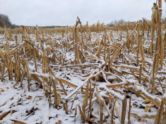 Snow, ice and wind have taken their toll on standing cornfields in Ontario, where late planting and wet conditions have delayed harvest into December. (Photo courtesy of Dan Petker)