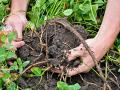 Kura clover's extensive perennial root and rhizome system accounts for its mat-like habit. (Progressive Farmer image by University of Minnesota)