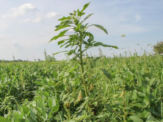 Southern scientists are in the process of confirming dicamba-resistant Palmer amaranth from the 2019 spraying season in Tennessee. (DTN photo by Pamela Smith)