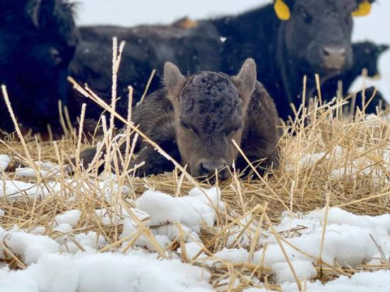 In complex times, the simple day-to-day to tasks like calving cows and tending to calves puts producer's minds at ease. (Photo by ShayLe Stewart)