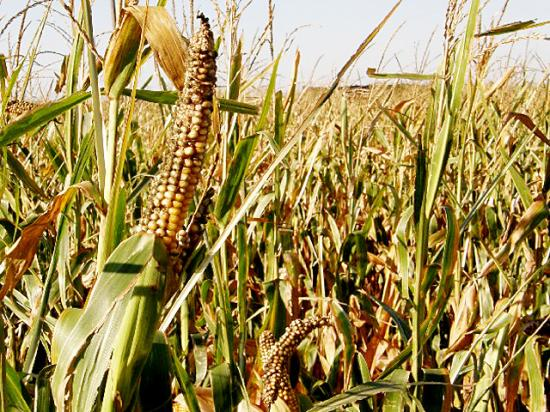 Drought-stressed corn also stresses farmers and ranchers whose herds still need to eat, regardless of weather conditions. Baling silage can do in a pinch. (DTN file photo by Dan Davidson)