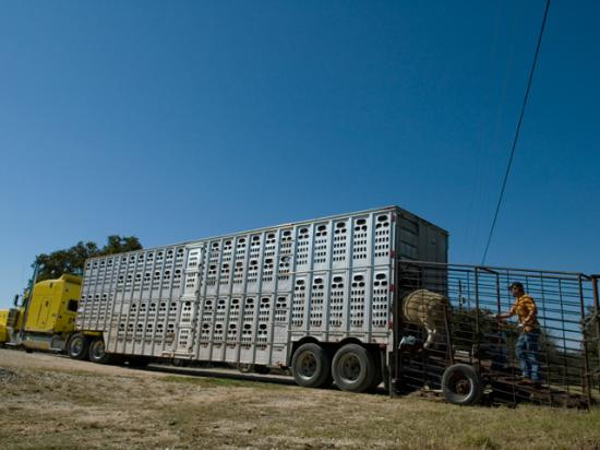 Truckers hauling cattle and hogs are exempt from a new federal rule requiring electronic logging devices on semi-trucks for at least 90 days after the rule takes effect. (DTN file photo)