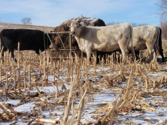 Regardless of what option cattle producers select, becoming more efficient when feeding hay and forage will help cattle producers' bottom line. (DTN photo by Russ Quinn)