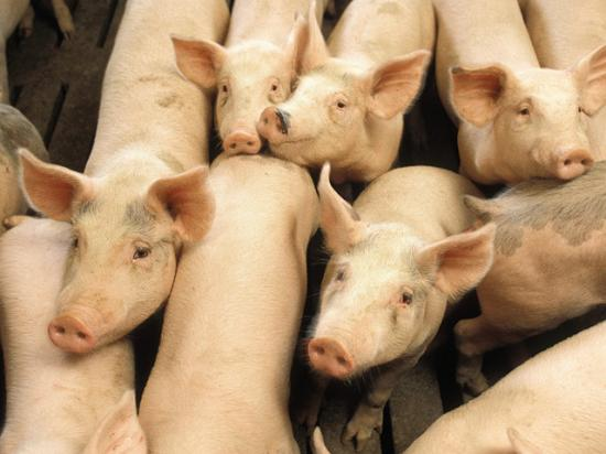 North Carolina-based Prestage Farms plans to build a 650,000-square-foot pork processing in north-central Iowa that would process as many as 10,000 hogs a day. (DTN file photo)