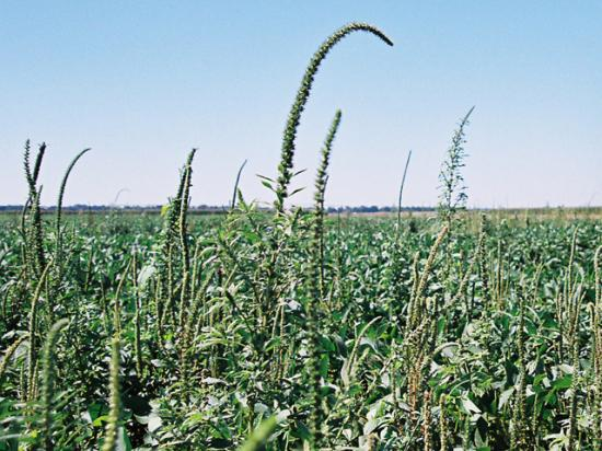 Some Arkansas growers struggling to control weeds such as Palmer amaranth are seeking compromises to allow broader use of dicamba herbicides. (DTN photo by Greg Horstmeier)