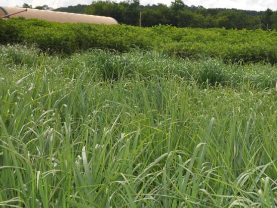 Biomass crops such as switchgrass are considered to be possible bioenergy feedstocks to grow on Conservation Reserve Program lands. (DTN file photo by Chris Clayton)