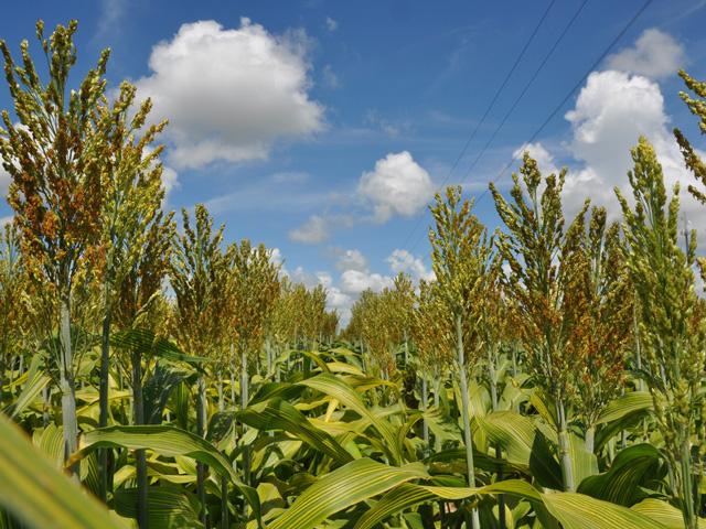 Pennsylvania Sorghum Grower Sets New Dryland Record of 245.86 BPA