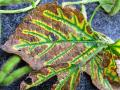 There may be more soybeans on the landscape susceptible to diseases such as SDS this year, plant pathologists warn. Be prepared to scout carefully, even in drier regions, as the disease can still hurt yields even without the classic foliar symptoms shown above. (DTN File photo by Pamela Smith)