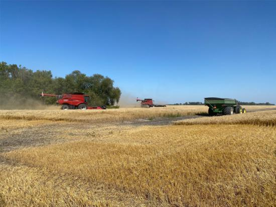 Spring wheat harvest in East Grand Forks, Minnesota, produced a much-improved quality in 2020 than 2019, but variable yields. (Photo by Matthew Krueger)
