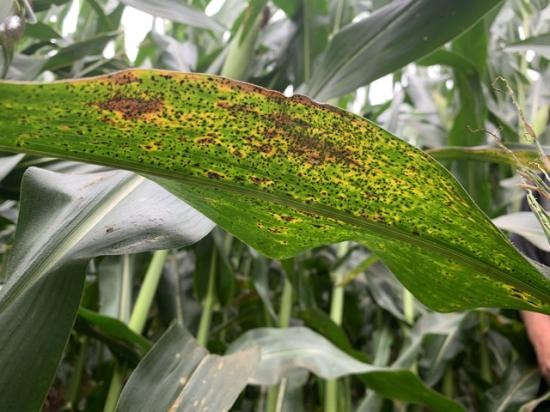 The tell-tale black specks of tar spot of corn were a common sight in the Corn Belt this year. Here are five things to keep in mind if you battled this disease this summer. (Photo courtesy Jim Donnelly)