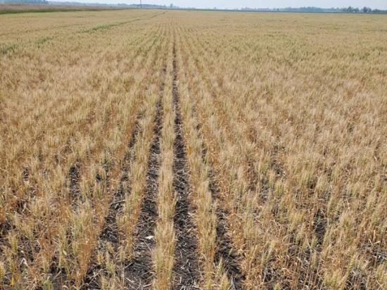 Pictured is one of Tim Dufault's spring wheat fields showing signs of drought stress in northwest Minnesota this July. Dufault said his overall yield ended up at 47 bushels per acre (bpa) versus a proven yield of 69 bpa. (Photo by Tim Dufault, Crookston, Minnesota)