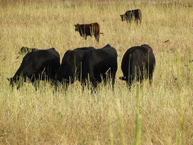 Cattle grazing is proven as a benefit to overall soil health. (Photo from the South Dakota Soil Health Coalition)