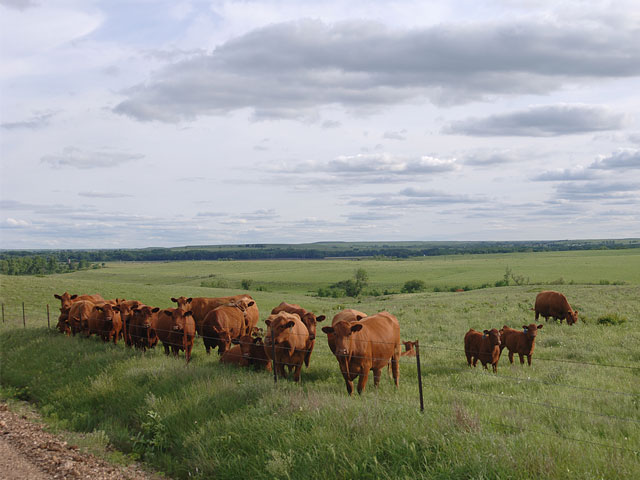 The U.S. cattle producer is the most efficient in the world, holding 8% to 10% of the global cattle population while producing 20% of the world's beef. (DTN\Progressive Farmer photo by Jim Patrico)