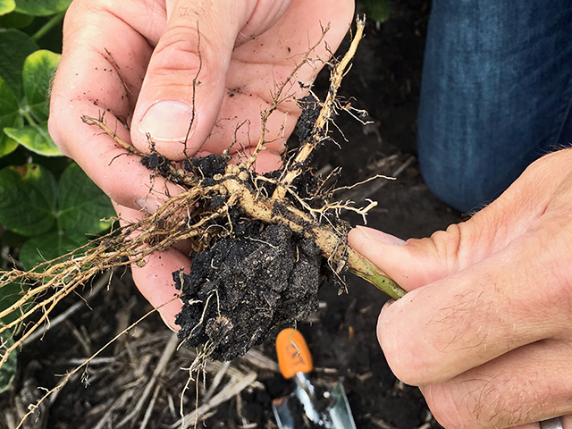 Looking for SCN females, which appear as tiny white dots on soybean roots from June through early August, is a good first step in evaluating SCN-resistant soybeans. (Progressive Farmer image by Pamela Smith)