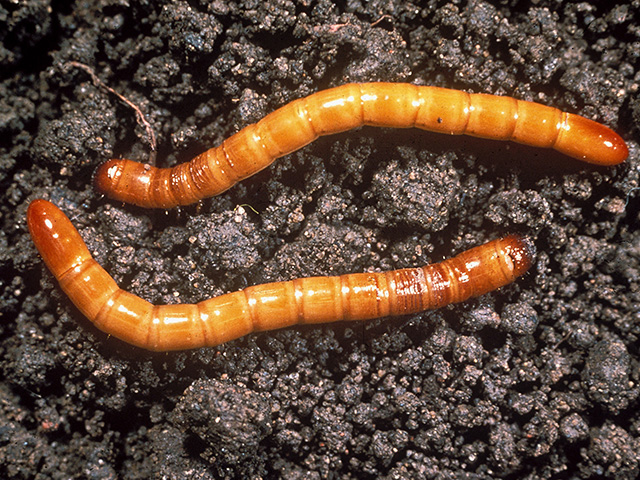 Farmers who battle wireworms (above) in small grains have a new insecticide active ingredient coming to market this year -- broflanilide -- marketed as Teraxxa by BASF. (Photo courtesy Frank Peairs, Colorado State University)