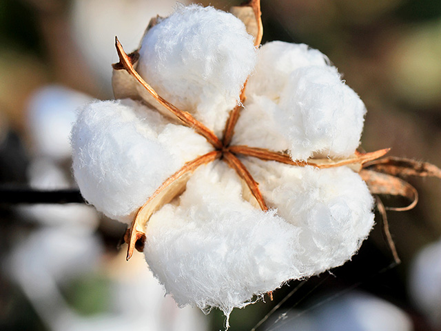 The cotton payment rate under the second version of the Market Facilitation Program was about 40% of the pre-trade-war price, but several studies suggest cotton prices only declined by 1.2%-1.3%, according to Kansas State University economists. (DTN file photo by Pamela Smith)