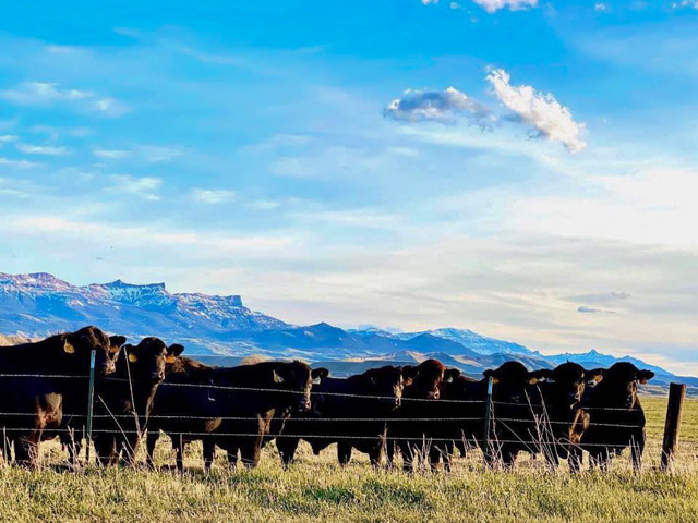As the supply of market-ready fat cattle continues to build, it will be important to watching the cash cattle market in the next couple of weeks. (DTN photo by ShayLe Stewart)