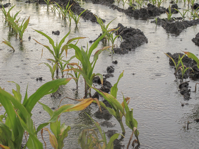 As extreme weather events such as heavy rains become more common, corn growers need to focus on making their crop more resilient to stress. Purdue's Bob Nielsen has 10 steps he recommends. (DTN file photo)