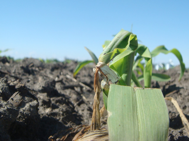 A May cold snap looms for parts of the upper Plains and Midwest this week. Newly emerged soybeans and young corn plants, such as the one above, may be at risk for freeze damage. (DTN photo by Pamela Smith)