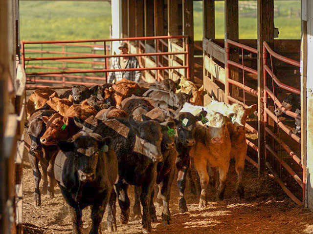 Interstate movement of cattle may require radio frequency identification tags one day, but for now, USDA has paused implementation of the program. (DTN/Progressive Farmer file photo by Jim Patrico)