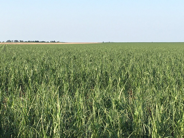 This corn field belonging to Chris Cullan of Hemingford, Nebraska, was hit by hail on July 9. Cullan said that the hailstorm hit a lot of acres, crossing Box Butte county about three to five miles wide. (Photo courtesy of Chris Cullan)