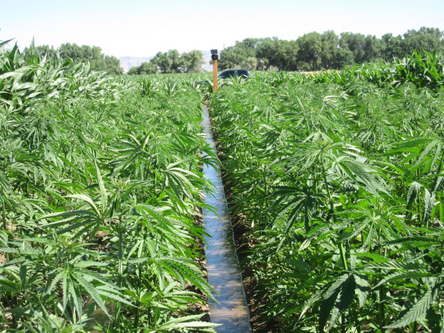 An irrigated hemp field in Colorado. The hemp industry, which now makes up about 450,000 to 500,000 acres nationally, is concerned about a DEA rule that could make hemp processing and waste products into Schedule I drugs. (Photo courtesy of the Colorado Department of Agriculture)