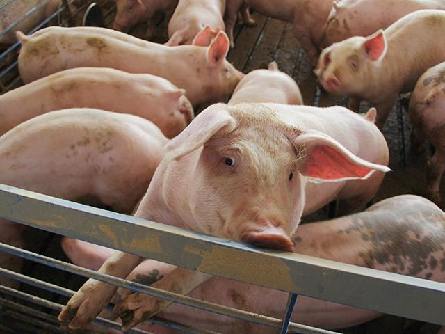 Hog producers, mainly in southern Minnesota and northern Iowa, face a new PRRS strain. The new strain (1-4-4) causes high mortality rates in both sows and piglets. (DTN/Progressive Farmer File Photo)