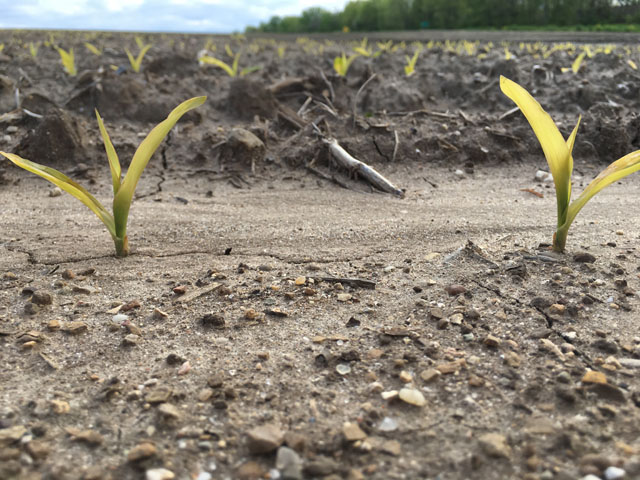 A widespread cold snap over Mother's Day weekend proved tough on many fields of newly emerged crops, like this cornfield in central Illinois. (DTN photo by Pamela Smith)