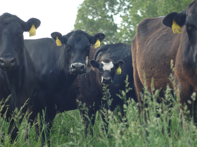 Drought over nearly two-thirds of Kansas is pushing cow/calf producers there to alter their management practices. Managed correctly, early weaning of calves is one such practice. DTN photo by Jim Patrico