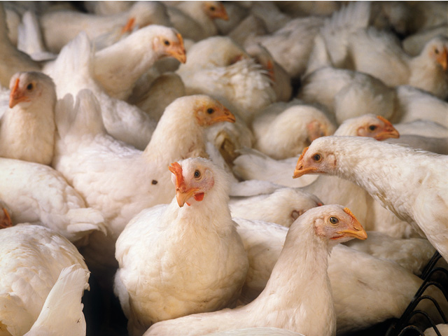 A new lawsuit alleges USDA's Food Safety and Inspection Service waiver program for poultry plant line speeds is putting workers at risk. (DTN file photo)