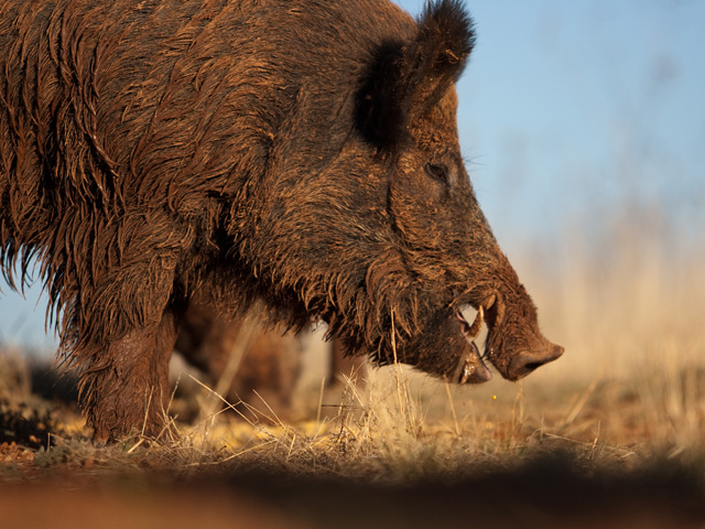 Wild boars in Germany tested positive for African swine fever last month, effectively shutting down a big chunk of Germany's pork exports outside of Europe. (DTN file photo)