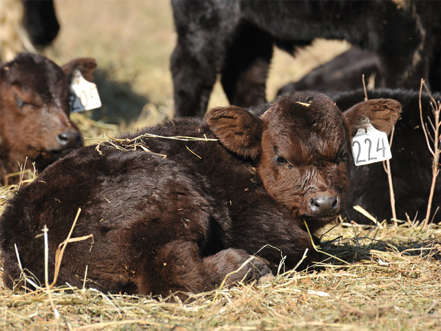 A new vaccine that protects against five, common pneumonia-causing pathogens can be used in calves as young as a week old.(DTN\Progressive Farmer photo by Jim Patrico)