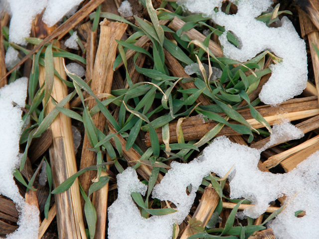 A cover crop peaks through the remains of the corn crop it followed. Make sure the herbicides you use on crops like corn and soybeans won't harm your fall cover crops. (DTN photo by Pamela Smith)