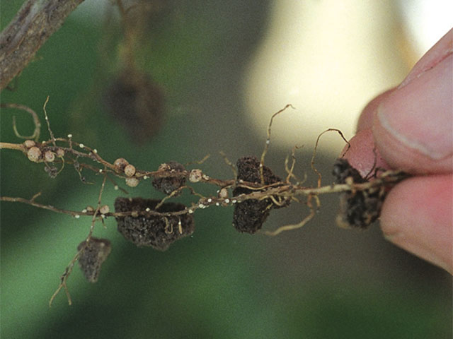 Syngenta is releasing a brand new source of SCN resistance, PI 89772, in a single soybean variety this year.