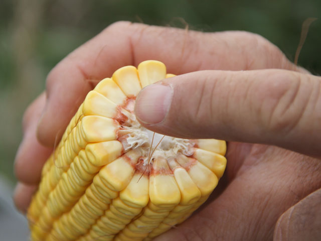 When estimating corn yield, a count of 32,000 ears (population), 560 kernels per ear and 90,000 kernels per bushel equals 200 bushels. (DTN file photo by Pamela Smith)