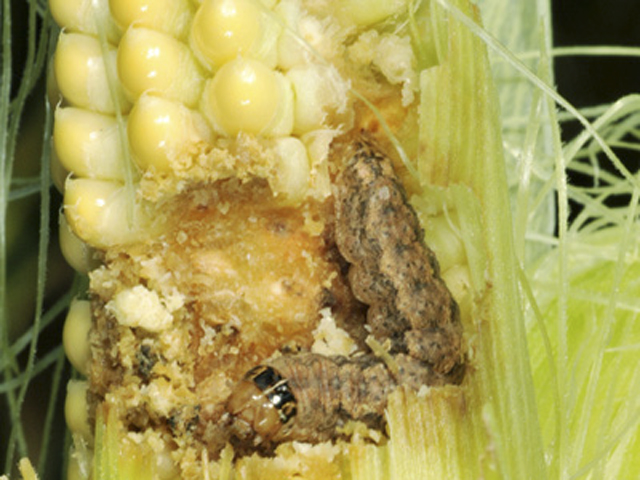 Western bean cutworm larvae feasting on a corn ear. The pest's populations are unusually high in the Midwest and Great Lakes this summer. (Photo courtesy Purdue University)