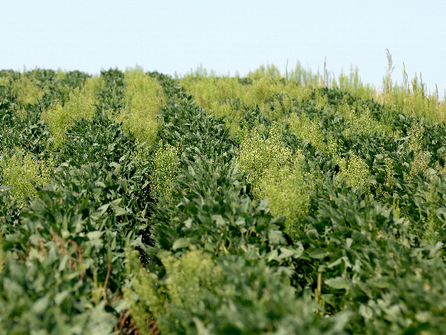 Weed scientists from Missouri and Iowa have found weed populations, like this soybean field battling marestail, capable of resisting five different classes of herbicide chemistry -- at the same time. That doesn't leave a lot of options. (DTN photo by Jim Patrico)