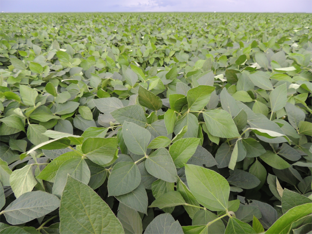 Intacta, Monsanto's insect-resistant Bt soybeans, shown above in Brazil, are no longer slated for U.S. soybean fields after the company shelved its plans to commercialize here. (Photo courtesy of Monsanto)