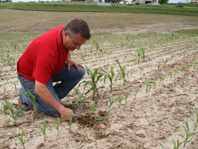Hail required replanting of corn in west-central Iowa. John Long, an agronomist for Mycogen, said the replanted crop should be looking at black layer the first week of October if no other weather event befalls it. (DTN photo by Pamela Smith)