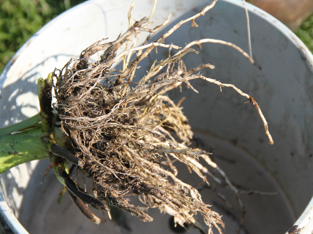 Those who did root digs last summer have the best shot at predicting corn rootworm pressure next summer. (DTN photo by Pamela Smith)