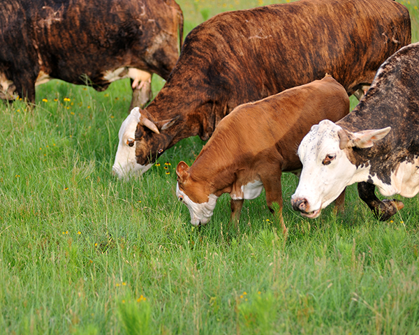 Cattle grazing. (DTN photo by Jim Patrico)