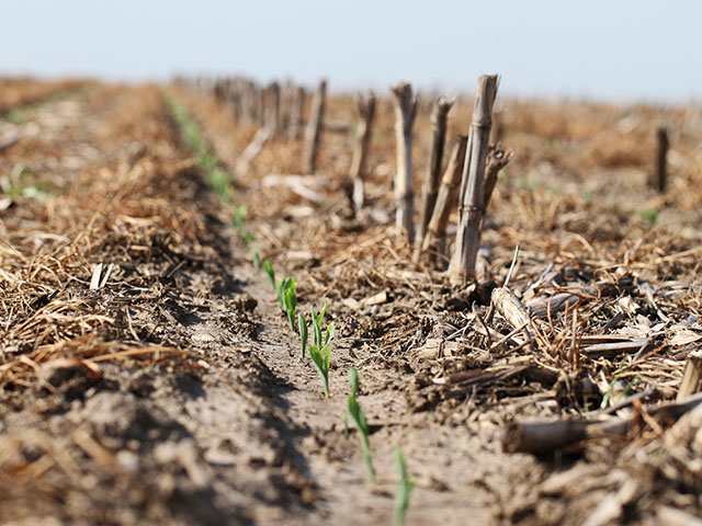 Keep insect pests from invading your cash crop by terminating cover crops at least two weeks before planting, like this Illinois farm where corn is sprouting up alongside terminated ryegrass. (DTN photo by Pamela Smith)