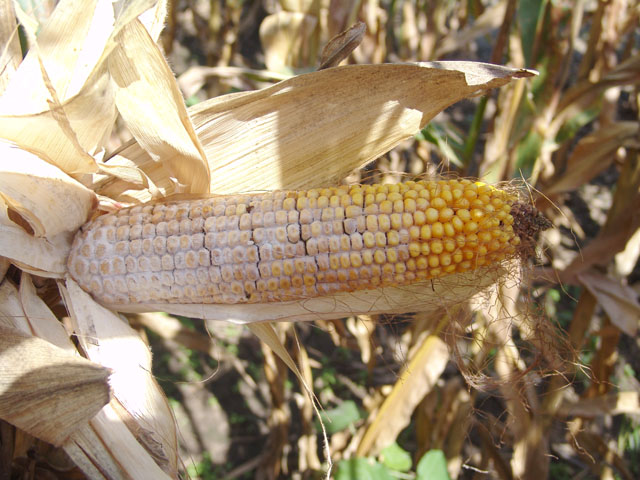 Diplodia-infected kernels will result in lowered test weight and yields, and quality discounts at the elevator. (Photo courtesy of Tamra Jackson-Ziems, University of Nebraska Extension)