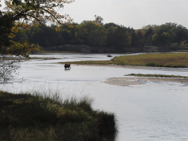 Cattle walk across the Elkhorn River in eastern Nebraska. EPA and the U.S. Army Corps of Engineers will be holding conference calls to rewrite the rules defining waters of the U.S. (DTN file photo by Chris Clayton)