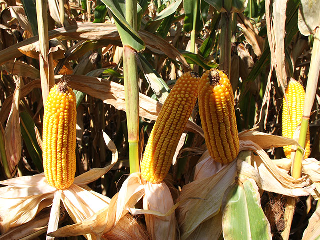 USDA on Tuesday pegged the average U.S. corn yield at 169.9 bushels per acre, up 0.4 bpa from the August report. (DTN file photo by Pamela Smith)